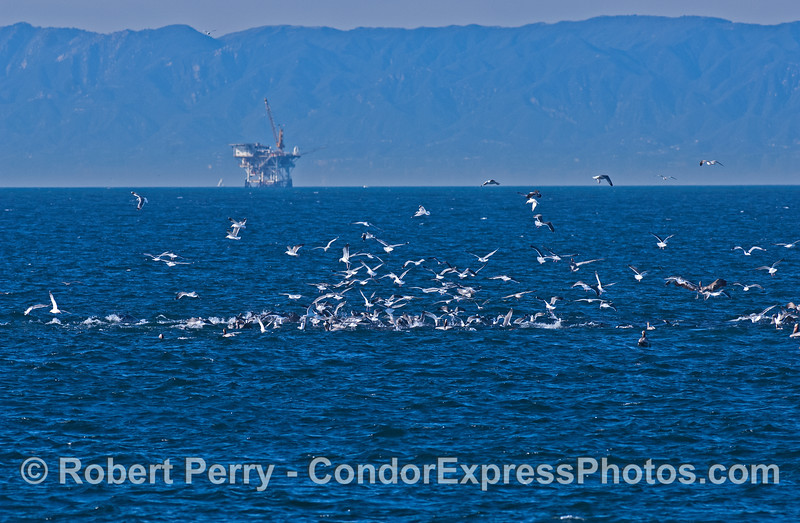 Seabirds on a hot spot off Port Hueneme