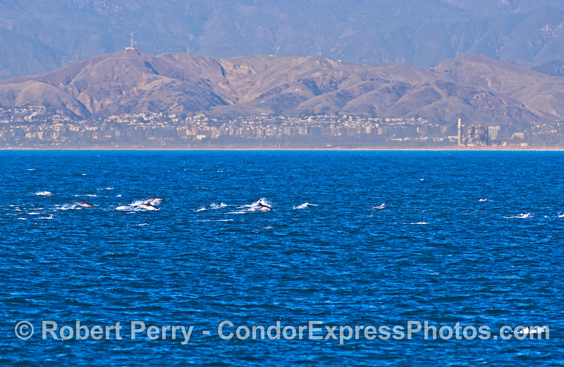 Herd of common dolphins with the city of Ventura in back