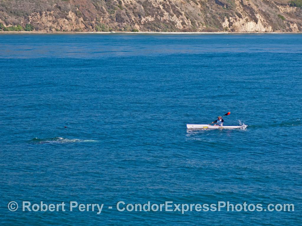 Eschrichtius robustus blasts kayaker 2007 02-17 Santa Barbara--005