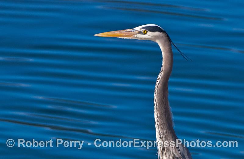 Blue heron Egretta thula on bait barge 2007 02-17 Santa Barbara Harbor--483