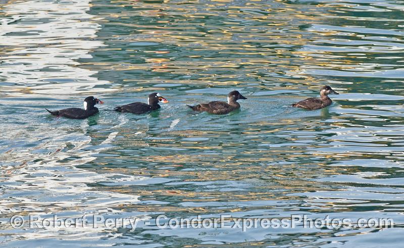 Melanitta perspicillata flock on water 2007 03-04 SB Channel-d-006