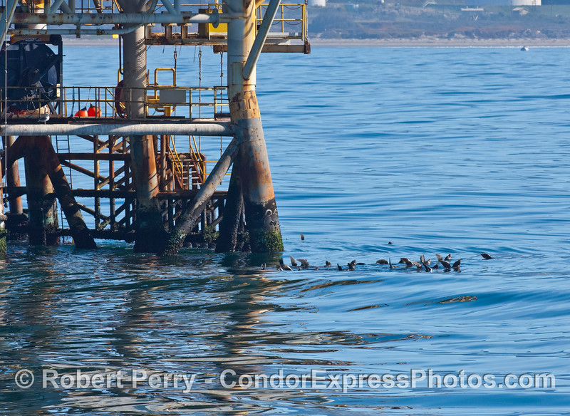 California sea lions relax on the ocean surface near offshore oil platform Holly