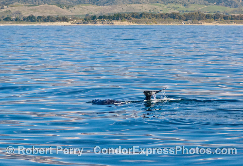 Gray whales cavort off Coal Oil Point, Santa Barbara