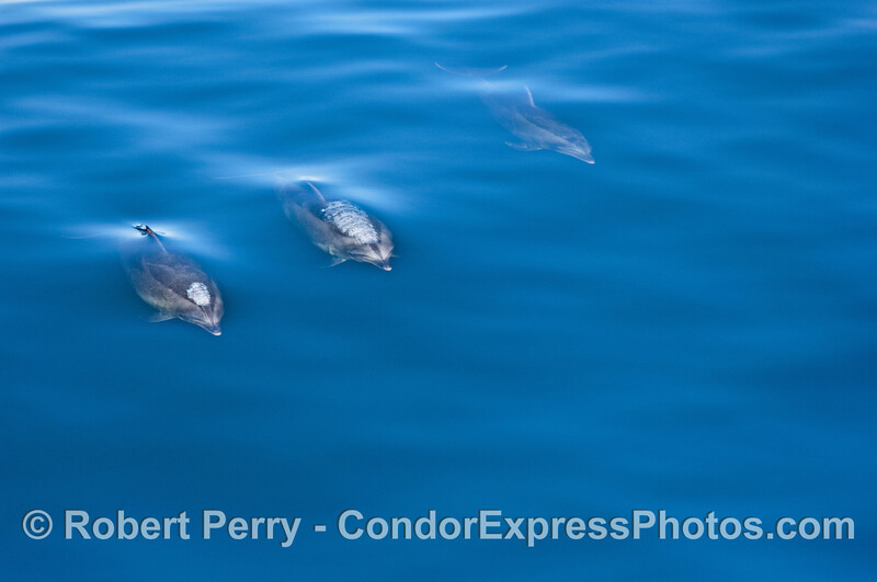 Three bottlenose dolphins blow bubble streams as they surface