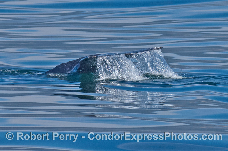 Gray whale tail flukes waterfall and mirror glass ocean