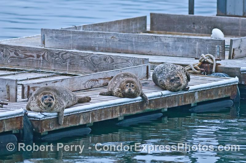 Three fat harbor seals rest on the Santa Barbara Harbor bait barge