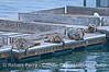 Three fat harbor seals rest on the Santa Barbara Harbor bait barge