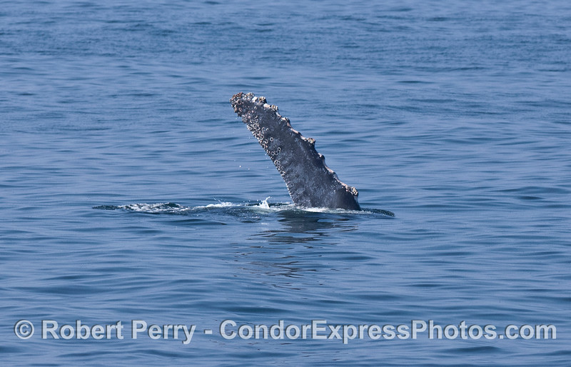 A friendly wave - pectoral fin of a humpback whale