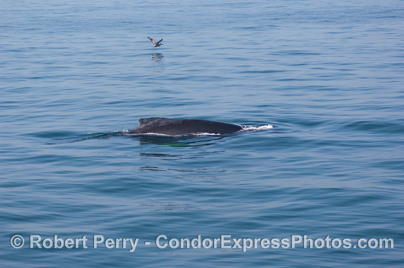 Dorsal fin and back of a humpback whale (a brown pelican flies in the distance)