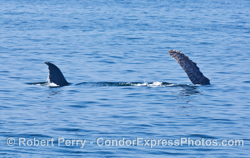 A humpback whale is seen on its side with tail fluke and pectoral fin in the air