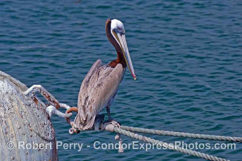 Brown pelican - Santa Barbara Harbor