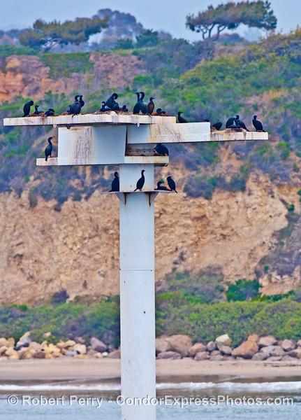 Cormorants roost and nest on an artificial habitat pole near Ellwood