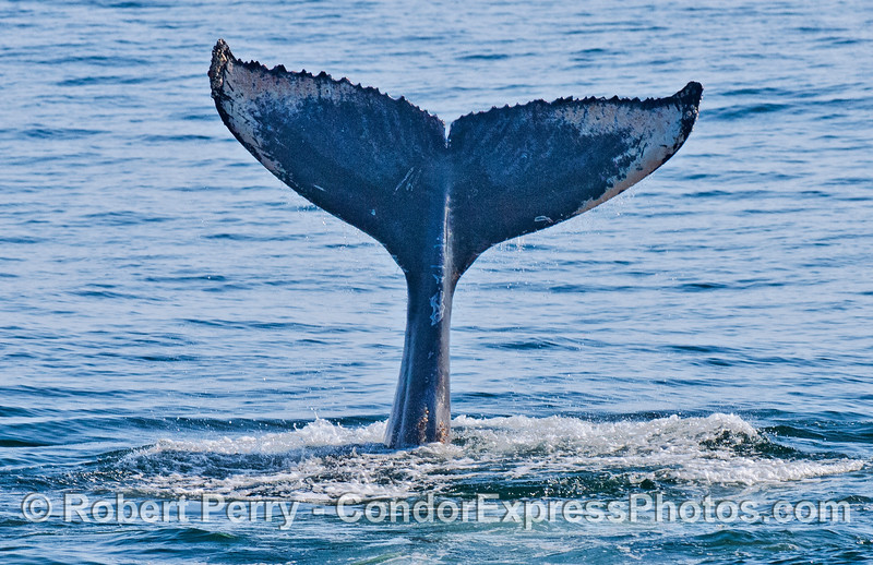 Tail flukes of a humpback whale caught by the camera in mid air during a tail slapping session