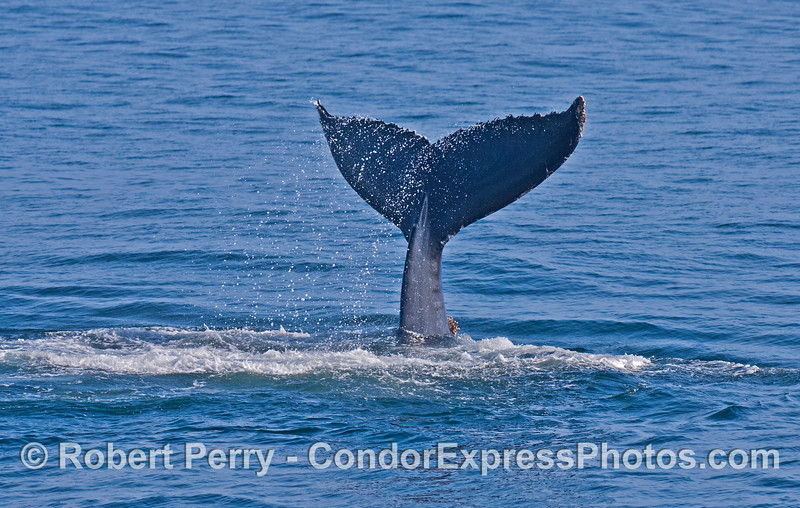 Spray drips as the tail flukes of a humpback whale are caught by the camera in mid air during a tail slapping session