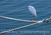 A snowy egret rests on some mooring lines in Santa Barbara Harbor