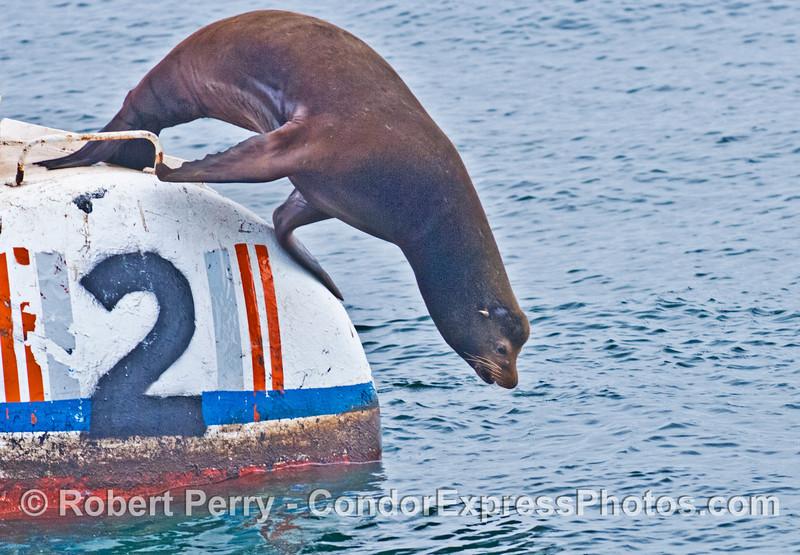 A bull California sea lion takes a leap off a mooring can near Platform Holly