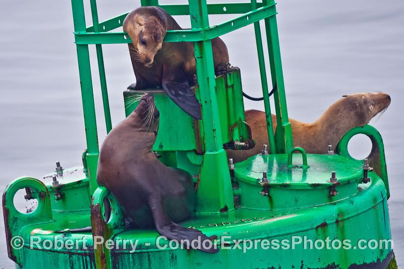 Whisker to whisker - two California sea lions on the Harbor entrance buoy, Santa Barbara