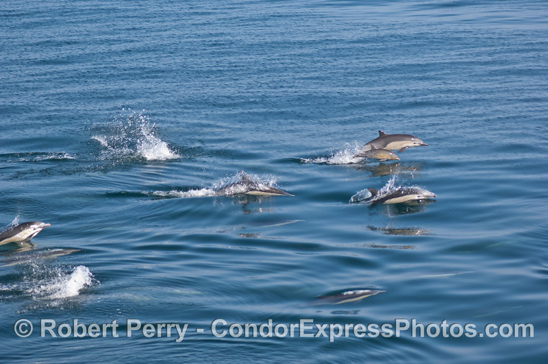Common dolphin herd