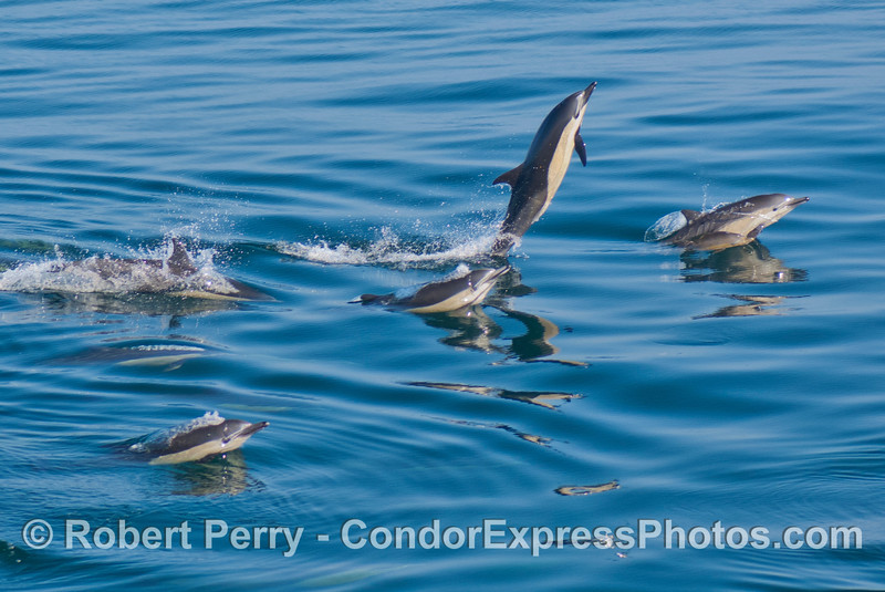 A herd of common dolphins in glassy water with one show-off