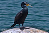 A blue eyed double crested cormorant rests on a mooring can in Santa Barbara Harbor