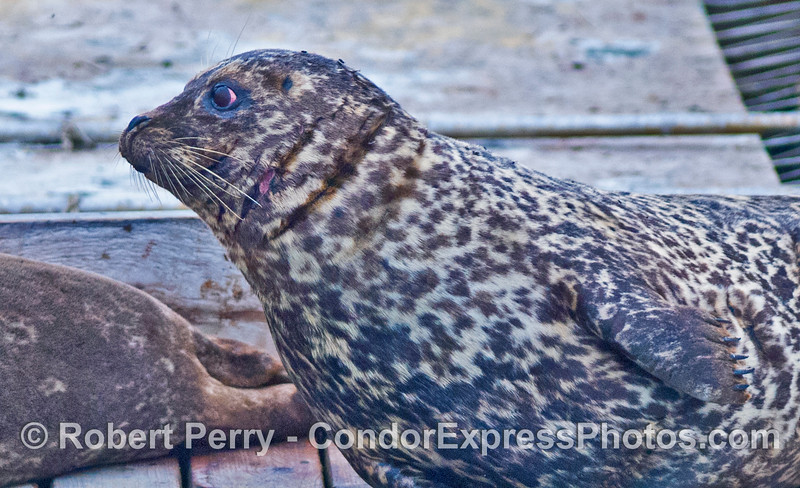 A close look at a Pacific harbor seal