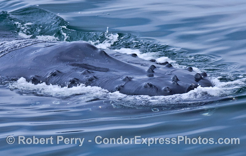 Tubercles and splashguard - a close look at the rostrum of a humpback whale