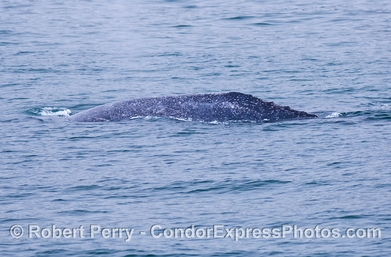 "Dorsal ridge and ""knuckles"" - Gray whale"