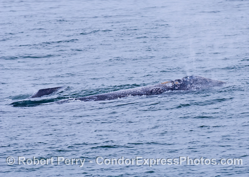 Mother gray whale (front) and her calf (lower left)