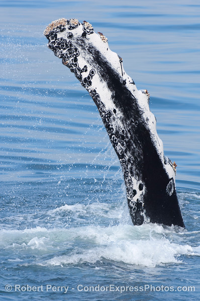 Pectoral fin slapping - humpback whale having fun
