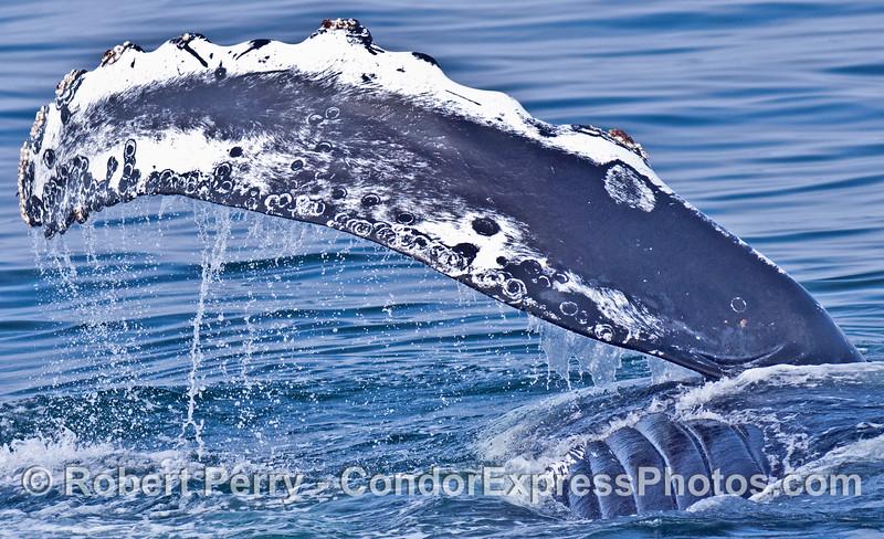 Pectoral fin slapping - humpback whale having fun