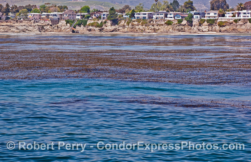 The massive Isla Vista kelp forest