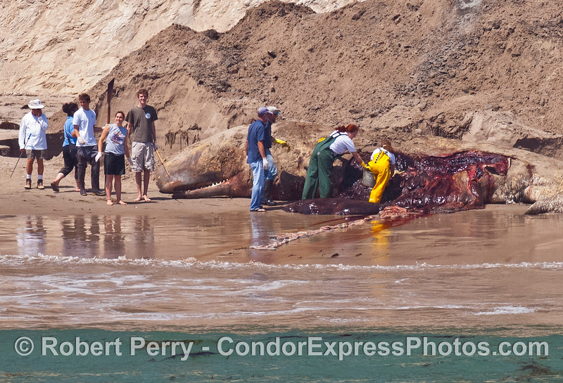 Michelle Berman and her crew perform a necropsy on a sperm whale near Campus Point UCSB