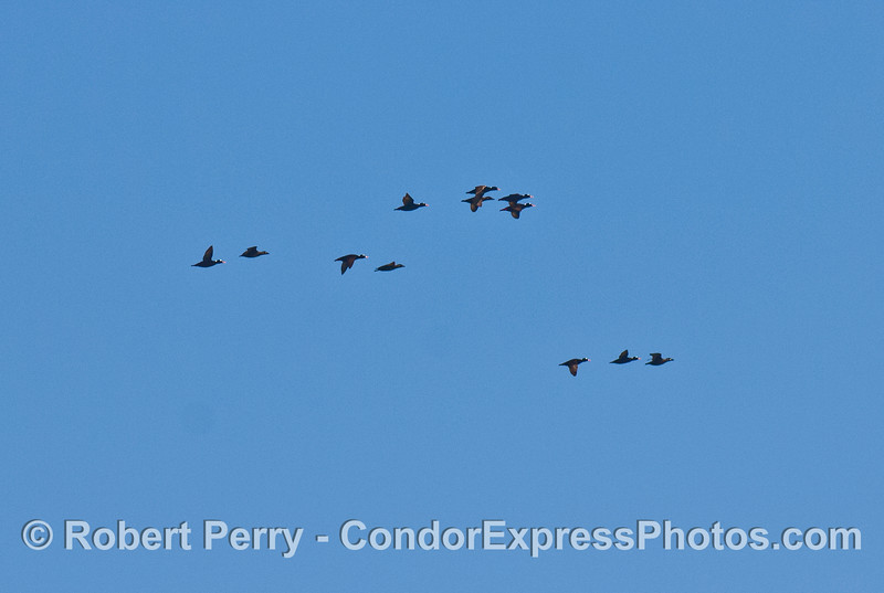 A flock of surf scoters