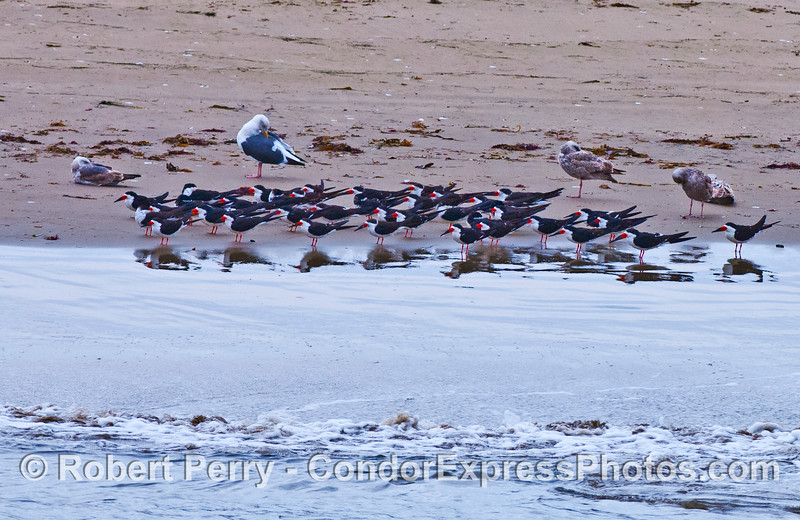 A flock of black skimmers rest along the water's edge