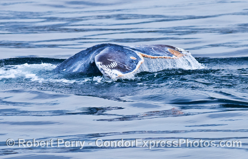 A gray whale's tail flukes show rake scars from a killer whale (Orca) attack