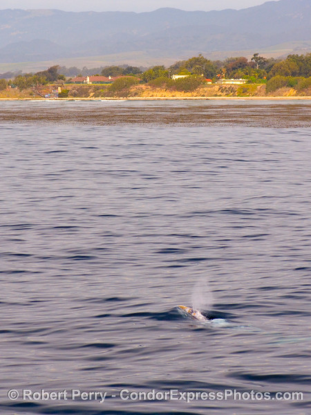 Gray whale near the coast