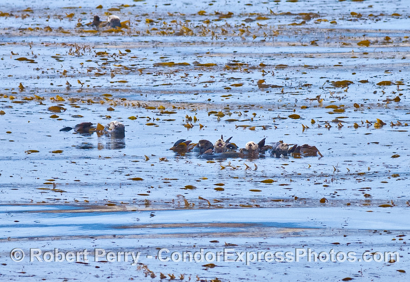 Sea otters in the giant kelp forest near Naples Reef