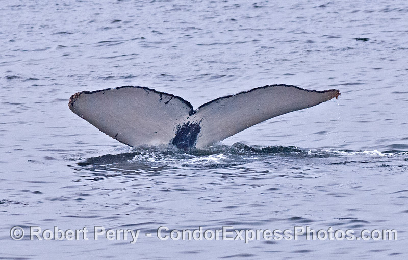 3 humpback tail flukes in a row - tail #2 - all white