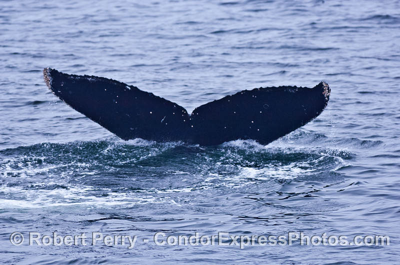 3 humpback tail flukes in a row - tail #1 - all dark