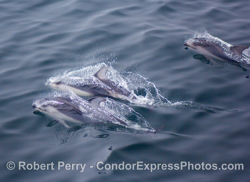 A trio of white sided dolphins