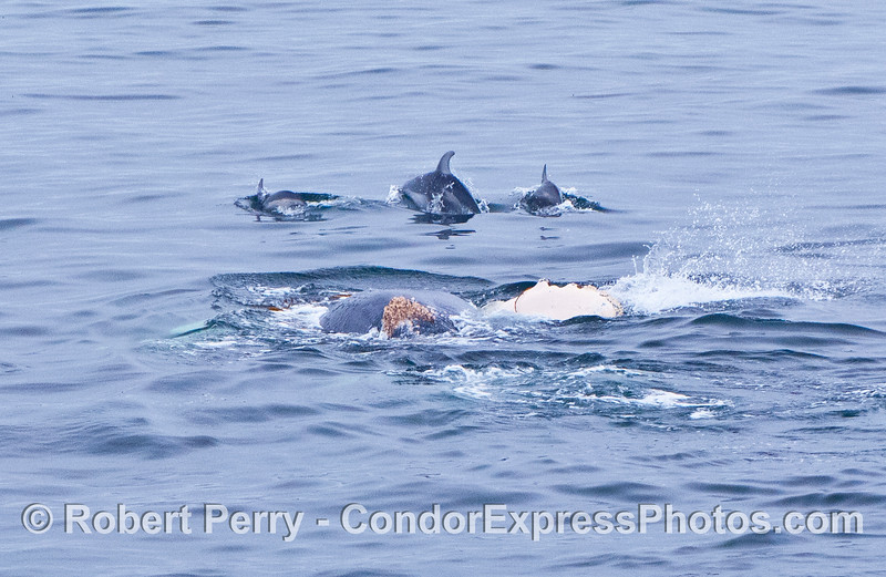 A few Pacific white sided dolphins and a rolling humpback whale