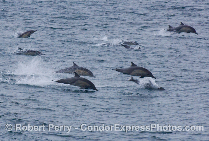 Leaping common dolphins