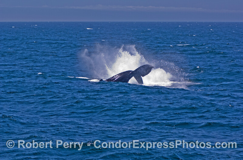 Make a big splash - A large humpback whale thows its tail.