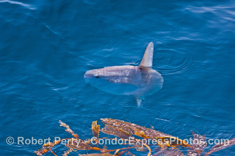 A small ocean sunfish (Mola mola) cruises along the edge of a giant kelp paddy.