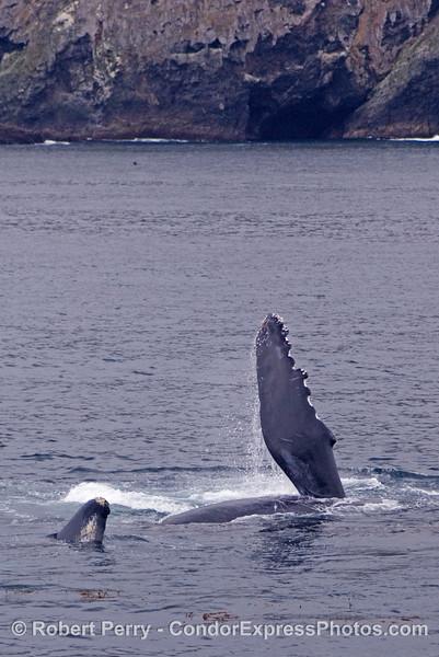 Humpback pectoral slapping near Santa Cruz Island.