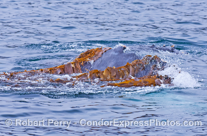 Kelp draped across the back of a humpback whale.