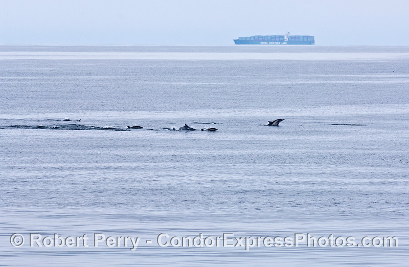 A herd of common dolpins with a container ship in the back.