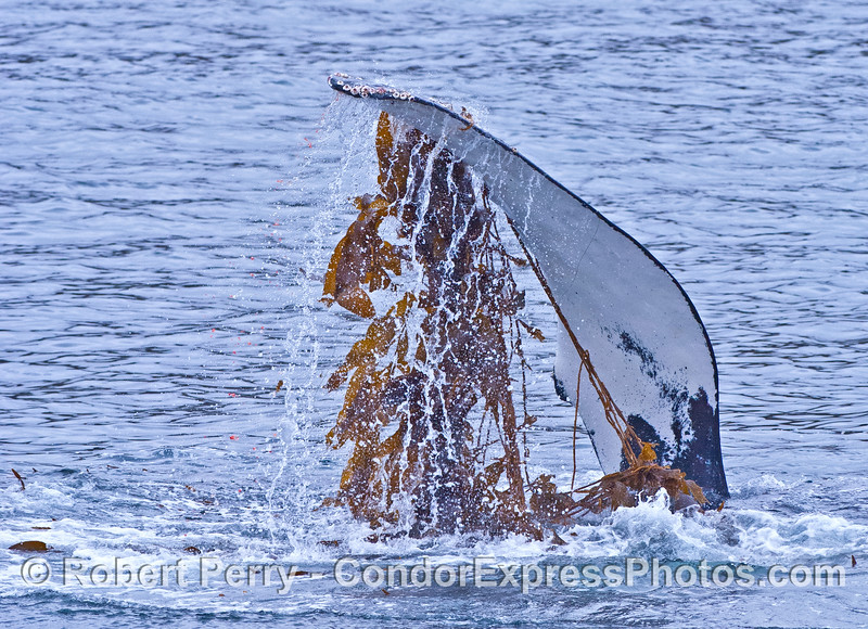 A humpback slaps its mighty pectoral fins in the kelp.
