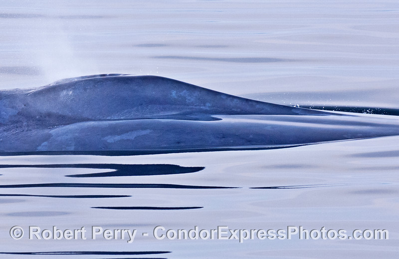 4 of 4 images:  a super sleak close up look at a blue whale in glassy water.