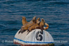 Seven sea lions on a mooring can.